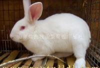 供应兔子养殖 养肉兔怎么样 济宁肉兔养殖场