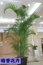散尾葵- 錢江新城 杭州租植物公司 杭州租花卉公司